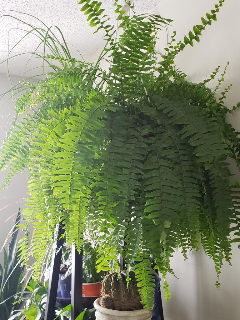 Bostern Fern plant